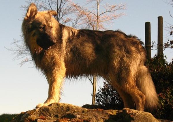 http://www.dogbreedinfo.com/a/americanalsatian.htm
